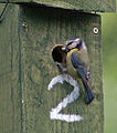 Adult blue tit (Cyanistes caeruleus) at wooden nest box no. 2.jpg