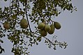 Aegle marmelos from Thanjavur district JEG9969.jpg
