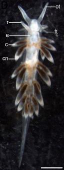 Aeolidiella stephanieae