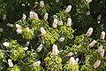 Aesculus californica flowers Los Trancos CA.jpg