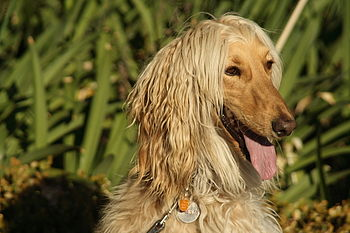 A portrait of an Afghan Hound.