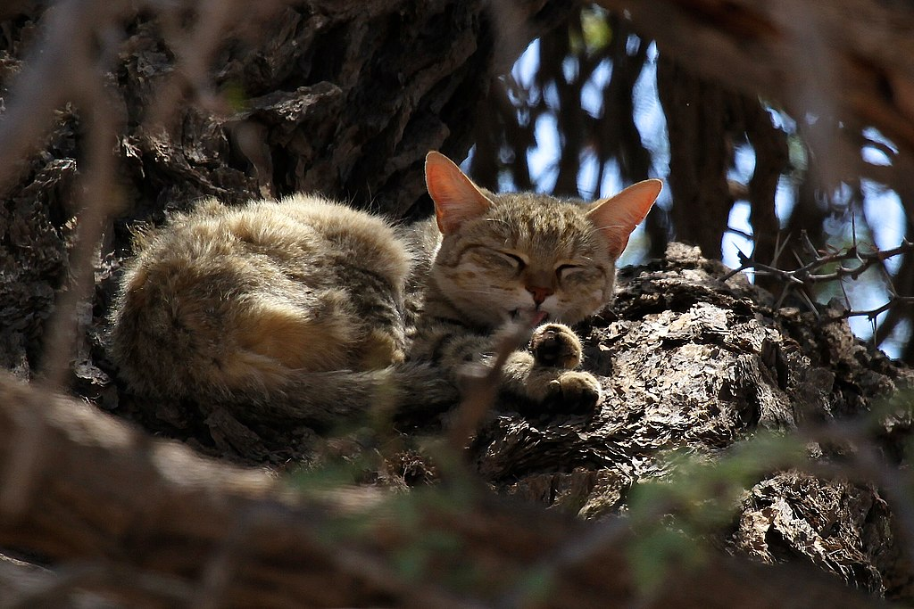 """African Wildcat-001"" by Rute Martins of Leoa's Photography (www.leoa.co.za) - Own work. Licensed under CC BY-SA 3.0 via Wikimedia Commons - https://commons.wikimedia.org/wiki/File:African_Wildcat-001.jpg#/media/File:African_Wildcat-001.jpg"