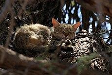 African Wildcat-001.jpg