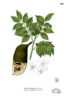 Zebrano baum blatt  Detarieae – Wikipedia
