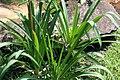 Agapanthus africanus 8zz.jpg