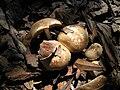 Agaricus semotus natural.jpg