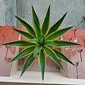 Agave azul Plant.jpg