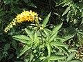 Agrimonia procera Kiev4.jpg