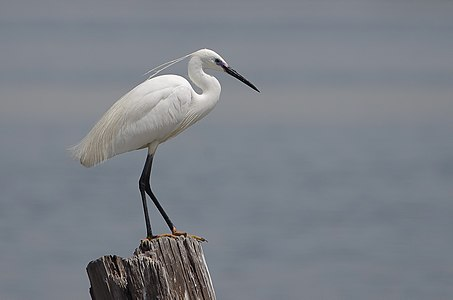 Little egret in the Lake of Tunis