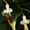 Alangium platanifolium var. trilobatum (with bee).jpg