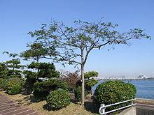 arbre de soie