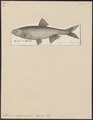 Alburnus chalcoides - 1788 - Print - Iconographia Zoologica - Special Collections University of Amsterdam - UBA01 IZ15000149.tif