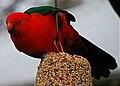 Alisterus scapularis -Australia (male) -bird feeder-8.jpg