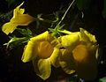 Allamanda cathartica flowers 6.JPG