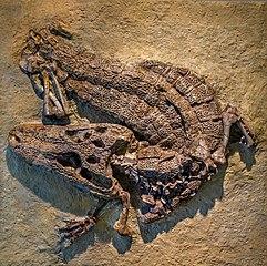Alligator prenasalis (specimen AMNH 4994) -20120521-RM-224539.jpg
