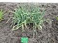 Allium ampeloprasum - Copenhagen Botanical Garden - DSC07942.JPG