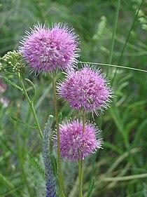 Allium globosum (inflorescences).jpg