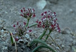 Allium monticola (San Bernardino Mountain onion) (5724597067).jpg