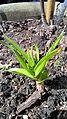 Allium obliquum R.H (2).jpg