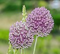 Allium polyanthum in Herault 02.jpg
