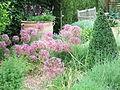 Alliums in dry garden at Cambridge Botanic Garden.JPG