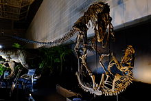 Skeletons of Allosaurus and Ceratosaurus mounted in fighting postures
