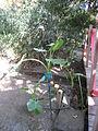Alocasia macrorrhiza - Jardin d'Éden.JPG