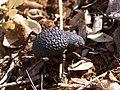 Alogenius cavifrons.jpg