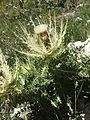 Alpen-Kratzdistel (Cirsium spinosissimum) in den Sextener Dolomiten - Nähe Drei-Zinnen-Hütte (9801211414).jpg