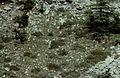 Alpes-Maritimes Saint-Martin-Vesubie Lac Du Mercantour Chamois 071990 - panoramio (2).jpg