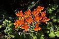 Alstroemeria ligtu ssp simsii 5 (14476722652).jpg