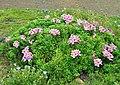 Alstroemeria pelegrina.jpg