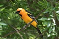 Altamira Oriole (male) National Butterfly Center Mission TX 2018-03-19 13-42-53 (26037390947).jpg