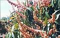 Alvocat fulles i inflorescències.jpg
