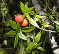 Alyxia ruscifolia foliage and fruit.jpg