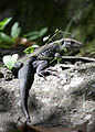 Ameiva fuscata near Coulibistrie River-a01.jpg