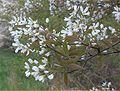 Amelanchier lamarckii bloeiwijze.jpg