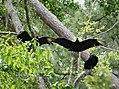 America Black Vultures. (Coragyps atratus) (37143753484).jpg