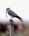 American Kestrel (Falco sparverius) 1.jpg