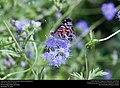 American Lady (Nymphalidae, Vanessa virginiensis) (30875655940).jpg