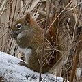 American Red Squirrel (Tamiasciurus hudsonicus) - Cambridge, Ontario.jpg