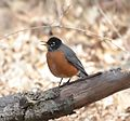 American Robin (33333085536).jpg