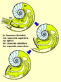 Ammonite with aptychi retracting.PNG