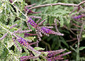 Amorpha nana - floraison.jpg