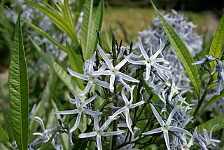 <i>Amsonia</i> genus of plants