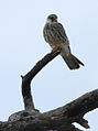 Amur falcon female at Kruger Park (13962407036).jpg