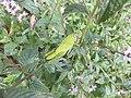 Anacridium aegyptium nymphs.jpg