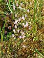 Anagallis tenella flower (2).jpg