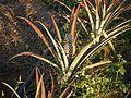 Ananas comosus (5287192553).jpg