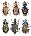 Anchista, Metallanchista, Physodera - ZooKeys-284-001-g002.jpeg